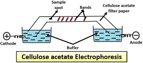 cellulose acetate electrophoresis techniques and applications